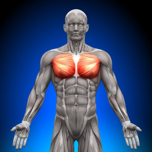 Building a Muscular Chest